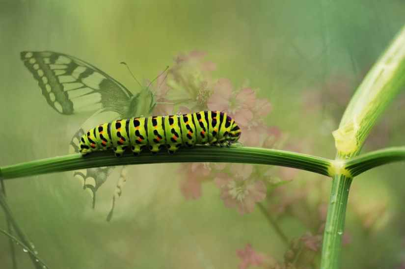 dovetail-butterfly-garden-insect-162311[1]